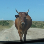 nguni cow 1